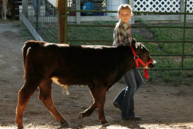 TALENT FROM AROUND BENTON COUNTY will be on display at the annual FFA Youth Fair in Lincoln this week. Abby Dittmer of Cole Camp was a past Jr. Bull Champion.