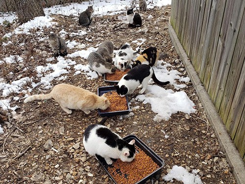 MANAGING WARSAW'S COMMUNITY CAT problem is a huge undertaking. A Trap, Neuter, Return Program will be underway this weekend by the Stover Animal Shelter. The cats pictured above were picked up during a prior event in Warsaw and fed before their surgeries. Two from this colony required medical attention and were later adopted by local residents.